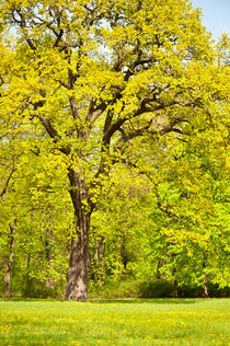 Large spring oak tree von Arletta Cwalina
