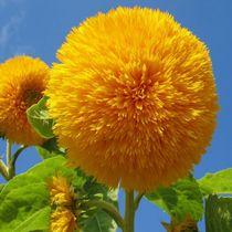Sonnenblumen in meine Garten by Asri  Ballandat - Knobbe