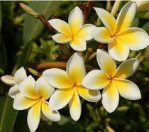 Bali Blume Bunga Kamboja by Asri  Ballandat - Knobbe