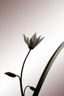 'Wilde Tulpe' von Bastian  Kienitz
