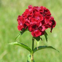 Rote Nelken  von Asri  Ballandat - Knobbe