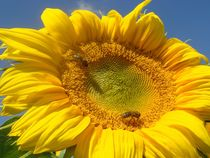 Sonnenblume mit zwei Binnen von Asri  Ballandat - Knobbe