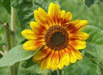 Rote Babys Sonnenblume by Asri  Ballandat - Knobbe