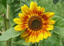 Rote Babys Sonnenblume von Asri  Ballandat - Knobbe