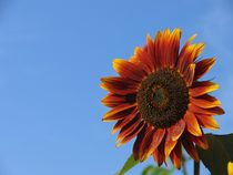 Rote Sonnenblume von Asri  Ballandat - Knobbe