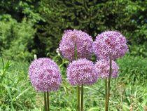 Allium gruppe von Asri  Ballandat - Knobbe
