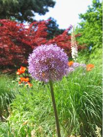 Allium  by Asri  Ballandat - Knobbe