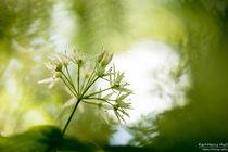 Bärlauchblüte von Karl-Heinz Huil