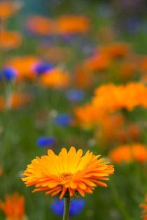 Blüte im Garten von gilidhor