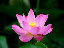 Lotusblüte von Bali von Asri  Ballandat - Knobbe
