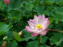Lotusblüte von Bali 1 von Asri  Ballandat - Knobbe