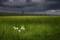 pusteblume von Manfred Hartmann