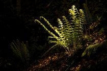 Shiny Fern von Thomas Matzl