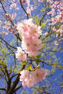 Kirschblüte - rosa Blüten im Frühling von Matthias Hauser