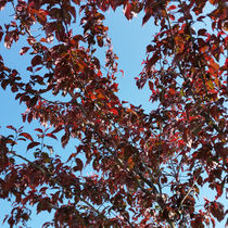 Red-branches-under-the-blue-sky