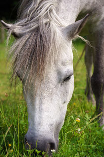 Lulu das Welshpony von AD DESIGN Photo + PhotoArt