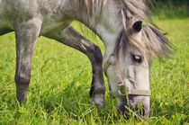 Welsh-Pony  von AD DESIGN Photo + PhotoArt