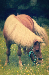 Shetlandpony von AD DESIGN Photo + PhotoArt