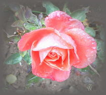 zarte Rose... by Thea Ulrich