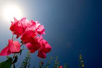 Blume by Helge Reinke