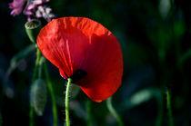 Mohnblume,  Poppy von Evienna Aigner
