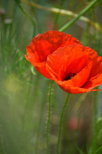 Mohnblume,  Poppy by Evienna Aigner