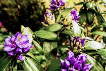 Purple  von Anna Apostata
