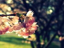 Cherry blossom by Stephanie Gille
