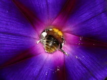 Bumblebee diving deep by Stephanie Gille