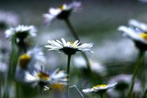 daisy by emanuele molinari
