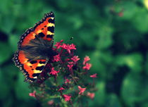 Peacock Butterfly von Stephanie Gille