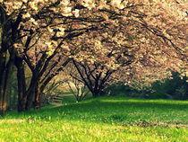 Kirschblüte by Stephanie Gille