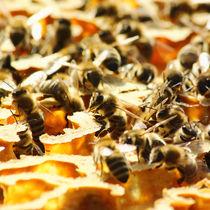 Wilde Bienen von Melanie Fischer