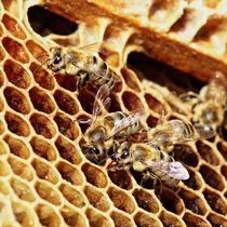 Bienen bei der Arbeit von Melanie Fischer