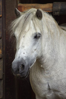 Welsh Pony by AD DESIGN Photo + PhotoArt