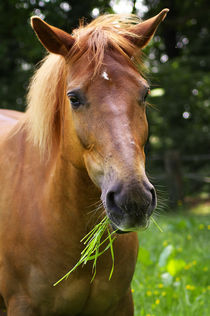 Quarter-Haflinger Mix Lilly  von AD DESIGN Photo + PhotoArt