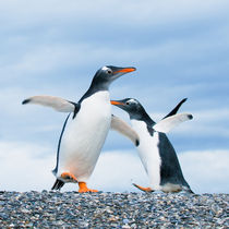 gentoo penguins von Konstantin Kalishko