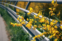 Gelbe Blüten by sylbe
