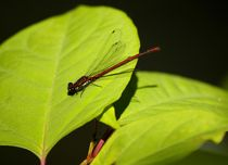 Libelle-red-on-green