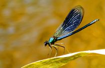 the blue one - Libelle / Dragonfly von mateart