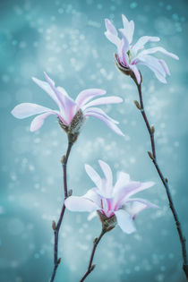 Magnolia Trio by Marcus Hennen
