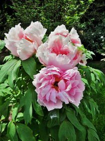 Tree Peony From Crimea by Rick Todaro
