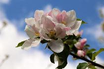 Apfelblüte von fotowelt-luebeck