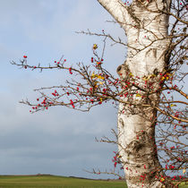 Rosehips, Birch And Sky von STEFARO .