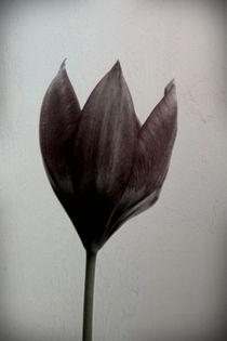 Wilde Tulpe  von Bastian  Kienitz