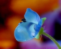 Forget-me-not in a drop of rain von Yuri Hope