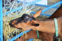 Portrait Of A Goat 2 von lanjee chee