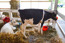 Cow-and-little-calf-1