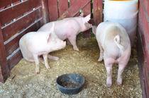 Pig von lanjee chee
