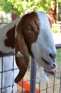 Beautiful  goat by lanjee chee